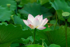 Lotus flower - pure Stock Photos