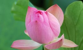 Lotus flower - pure Royalty Free Stock Photography