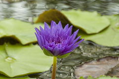 Lotus flower purple. Purple lotus in the pond Royalty Free Stock Photos