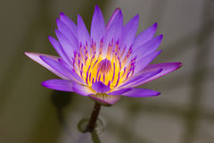 Lotus flower. Purple and yellow color Lotus flower in the bolw stock images