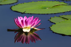 Lotus flower with reflection Stock Image