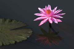 Lotus flower with reflection Royalty Free Stock Photos