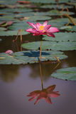 Lotus Flower with Reflection stock photography