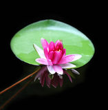Lotus flower - reflection water pond blooming - Pink water lily Royalty Free Stock Photos