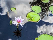 Lotus Flower with Reflections. Perfect lotus surrounded by lily pads and the reflection of the clouds in the sky Royalty Free Stock Images