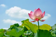 Free Lotus Flower Rising From Mud To The Sunshine Royalty Free Stock Photography - 105114247