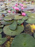 Lotus flower in the river Stock Photography