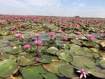 Lotus flower in the river Stock Photo