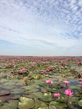 Lotus flower in the river Royalty Free Stock Image
