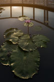 Lotus flower in the roof top Royalty Free Stock Photo