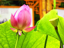 Lotus flower root and bud Stock Image