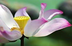 Lotus Flower rosa Immagini Stock