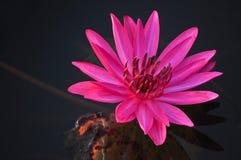 Lotus Flower rosa in acqua fotografia stock libera da diritti