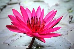 Lotus Flower rosada Fotografía de archivo