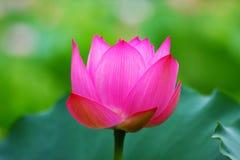 Lotus Flower rose Photo libre de droits