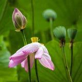 Lotus Flower rose avec les feuilles de vert et la cosse de bourgeon et de graine photos stock