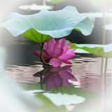 Lotus flower and its reflection in the water Stock Image