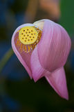 Lotus flower with seed pod and background. Pink lotus flower with petals falling revealing seed pod Stock Image