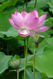 Lotus flower with seed pod Royalty Free Stock Images