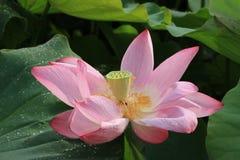 Lotus flower and seedpod Stock Photography