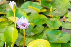 Lotus flower selective focus Royalty Free Stock Photos
