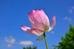 Lotus flower, sky background. Japan. Stock Photos