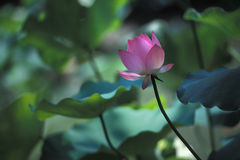 Lotus flower on slender stem. A pink lotus flower on a slender stem, surrounded by green leaves Stock Photo
