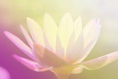 Lotus flower soft focus color filter. Beautiful lotus flower soft focus color filter royalty free stock image