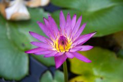The Lotus flower Royalty Free Stock Photos