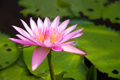 The Lotus Flower. Royalty Free Stock Photo