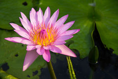 The lotus flower. Stock Photo