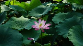A lotus flower with some petals is standing in the pond Royalty Free Stock Photo