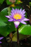 Lotus flower in Sri Lanka royalty free stock images