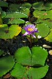 Lotus flower, aquatic plant in Sri Lanka stock photo