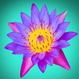 Lotus flower still life in sunny day.  stock photography