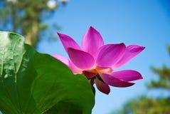 Lotus flower. A lotus flower in summer, Beijing Stock Photo