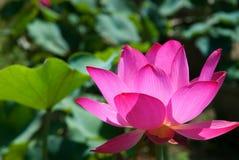Lotus flower. A lotus flower in summer, Beijing Royalty Free Stock Photos