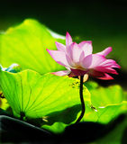 Lotus flower in summer morning Stock Photo