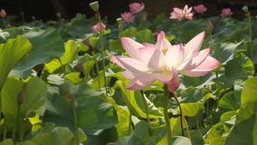 Lotus flower sunlight stock video footage