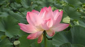 Lotus flower sunlight Royalty Free Stock Photos