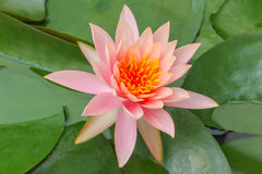 Lotus Flower tailandesa - flora Fotografía de archivo libre de regalías
