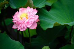 Lotus Flower at Taipei Botanical Garden in Taipei, Taiwan. Stock Photo