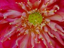 Lotus flower bloom. Lotus flower taken at close range stock images