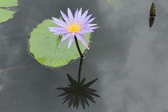 Lotus flower. Thailand flower  travel  baeutyful Royalty Free Stock Photo
