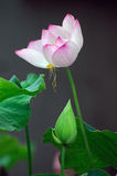 Lotus flower. There is a pink lotus flower.It's very beautiful Stock Image
