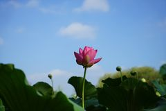 A lotus flower together with many buds growing towards sky in pond Royalty Free Stock Photography