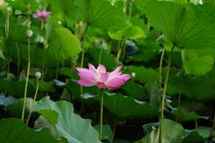 A lotus flower together with many buds growing up in pond Stock Images