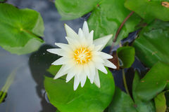 Lotus flower on top view. Yellow lotus flower on top view Royalty Free Stock Photography