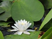 Lotus Flower. Tourism in Danube Delta, Romania Stock Photos