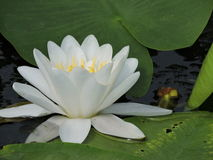 Lotus Flower 2. Tourism in Danube Delta, Romania Royalty Free Stock Photography